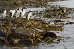 Pinguins de Gentoo que dirigem ao mar na ilha mais desolada Imagem de Stock