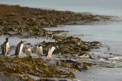 Pinguins de Gentoo que dirigem ao mar na ilha mais desolada Foto de Stock Royalty Free