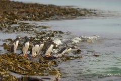 Pinguins de Gentoo que dirigem ao mar na ilha mais desolada Fotos de Stock