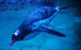 Pinguins de Gentoo que nadam foto de stock