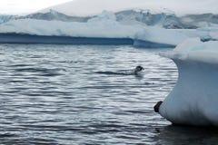 Pinguins de Gentoo que porpoising na Antártica imagens de stock