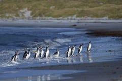 Pinguins de Gentoo que vêm em terra no mar Lion Island Fotos de Stock
