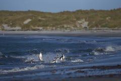 Pinguins de Gentoo que vêm em terra no mar Lion Island Imagem de Stock Royalty Free