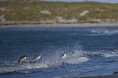 Pinguins de Gentoo que vêm em terra no mar Lion Island Imagem de Stock