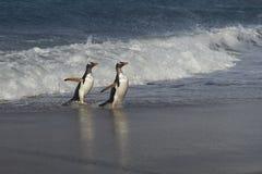 Pinguins de Gentoo que vêm em terra no mar Lion Island imagens de stock royalty free