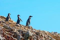Pinguins de Humbold, reserva natural de Paracas, Peru imagens de stock royalty free