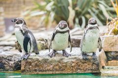 Pinguins de Humboldt fotos de stock royalty free