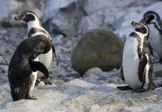 Pinguins de Humboldt Fotos de Stock