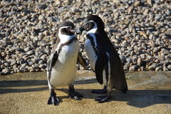 Pinguins de Humboldt foto de stock royalty free