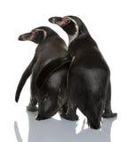 Pinguins de Humboldt, humboldti do Spheniscus foto de stock royalty free