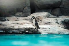Pinguins de Humboldt que estão no ambiente natural imagens de stock royalty free