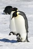 Pinguins de imperador imagens de stock