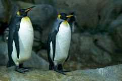 Pinguins de imperador Imagem de Stock Royalty Free