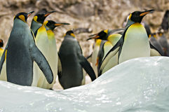 Pinguins de imperador Fotografia de Stock Royalty Free
