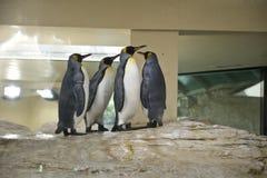 Pinguins de imperador imagem de stock royalty free