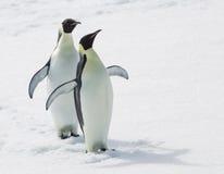 Pinguins de imperador fotos de stock royalty free