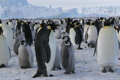 Pinguins de imperador foto de stock