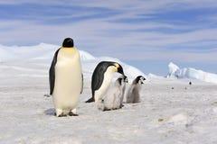 Pinguins de imperador com pintainho fotos de stock