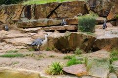 Pinguins de imperador e em um jardim zoológico fotografia de stock