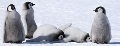 Pinguins de imperador (forsteri do Aptenodytes) Imagens de Stock