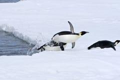 Pinguins de imperador (forsteri do Aptenodytes) fotografia de stock royalty free