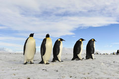 Pinguins de imperador na neve fotografia de stock