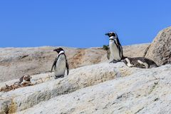 Pinguins de Jackass foto de stock