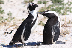 Pinguins de Jackass imagens de stock royalty free