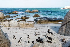 Pinguins de Jackass africanos imagem de stock