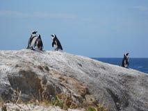Pinguins de Jackass africanos em pedregulhos, África do Sul Imagens de Stock Royalty Free