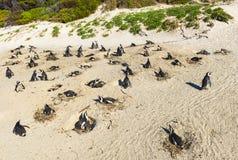 Pinguins de Jackass colônia, África do Sul fotografia de stock