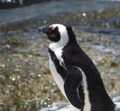 Pinguins de Jackass na praia do pedregulho, Simons Town imagem de stock royalty free