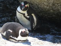 Pinguins de Jackass na praia do pedregulho, Simons Town imagens de stock royalty free