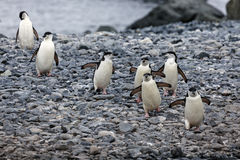 Pinguins de jugulaire Photographie stock libre de droits