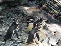 Pinguins de Lisboa foto de stock royalty free