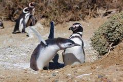 Pinguins de Magellan foto de stock