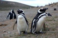 Pinguins de Magellan em um console Foto de Stock Royalty Free