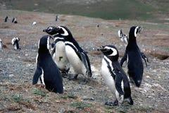 Pinguins de Magellan em um console Fotos de Stock Royalty Free