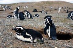 Pinguins de Magellan em um console Fotografia de Stock Royalty Free
