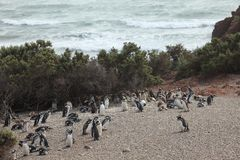 Pinguins de Magellan de Punta Tombo em Argentina imagem de stock