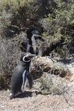 Pinguins de Magellan que enfeitam-se na praia Foto de Stock