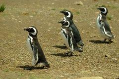 Pinguins de Magellanic Foto de Stock Royalty Free