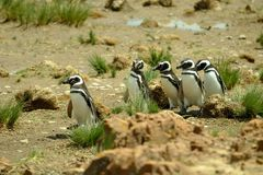 Pinguins de Magellanic Fotografia de Stock Royalty Free