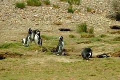 Pinguins de Magellanic Fotos de Stock