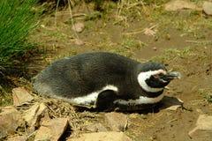 Pinguins de Magellanic Foto de Stock