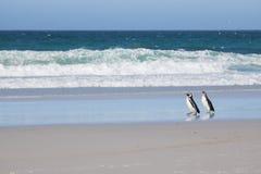 Pinguins de Magellanic imagens de stock