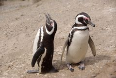 Pinguins de Magellanic no Patagonia Imagem de Stock