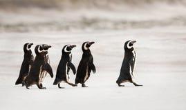 Pinguins de Magellanic que dirigem para fora ao mar para pescar foto de stock