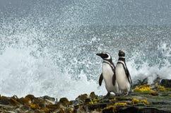Pinguins de Magellanic que olham o oceano tormentoso fotografia de stock royalty free