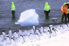 Pinguins de marcha de Gentoo fotografia de stock